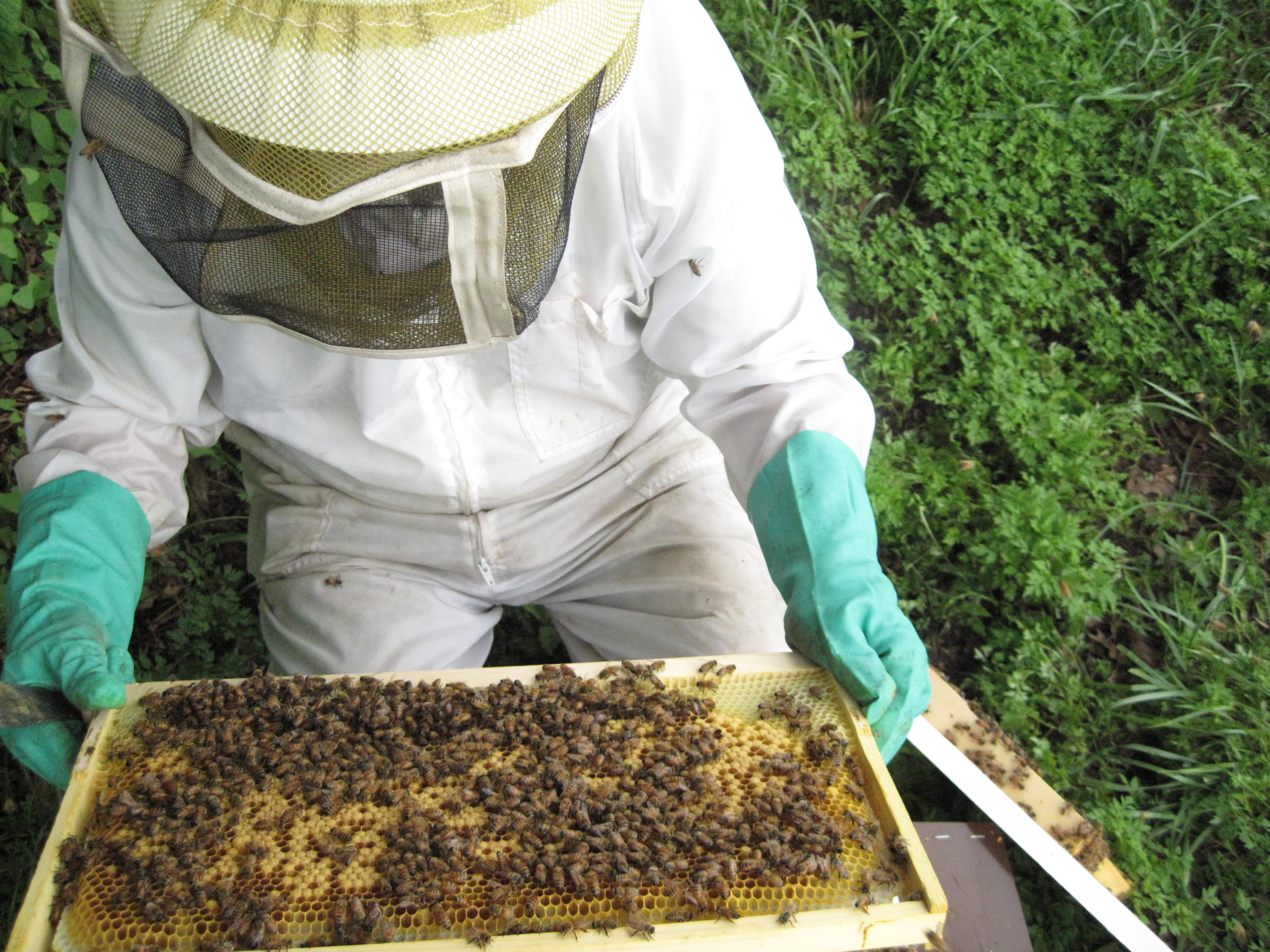 UMD researcher inspects bees